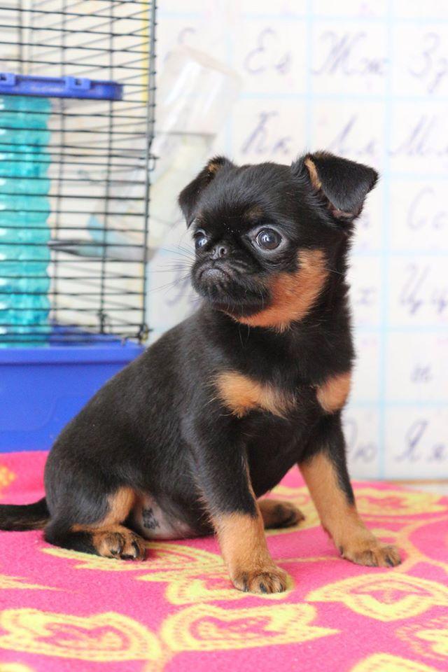 Как выбрать и купить щенка гриффона или брабансона?