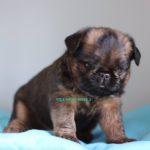 (Русский) щенок брюссельского гриффона вита грифф