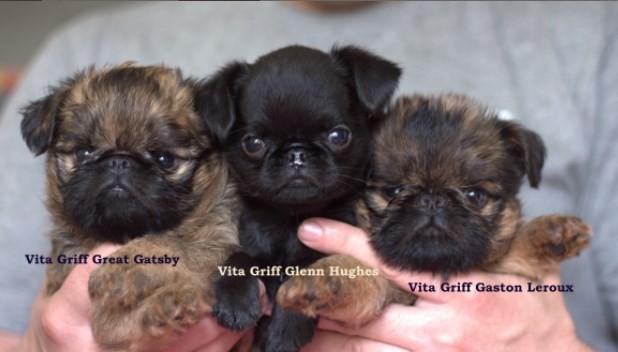 как выбрать щенка гриффона или брабансона?