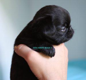 (English) щенок черного пти брабансона питомник Вита Грифф