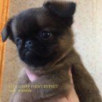 щенок пти брабансона фото