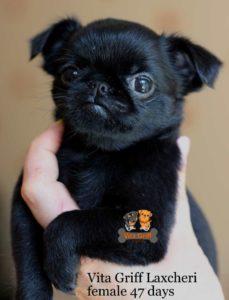купить щенка пти брабансона черного окраса