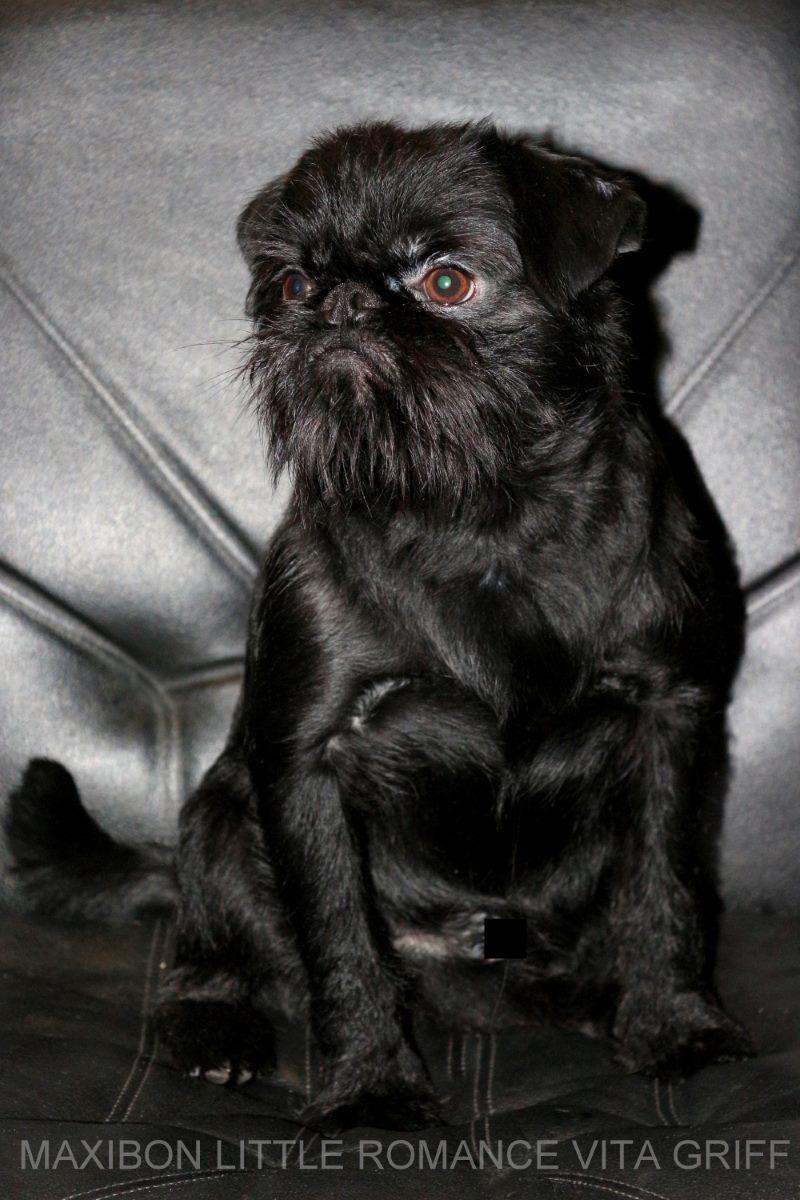 бельгийский гриффон черного окраса