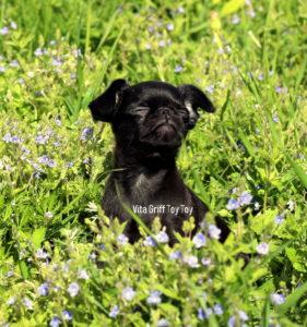черный пти брабансон цена