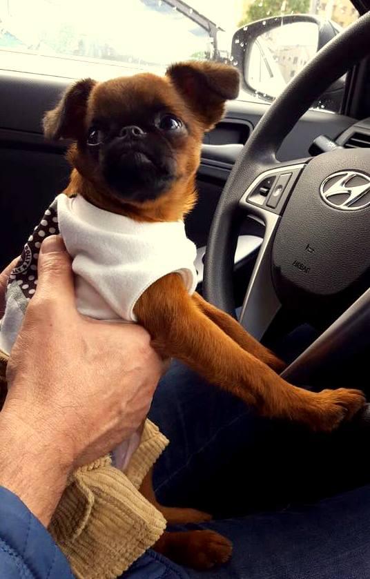 Путешествие с собакой гриффон или брабансон на машине
